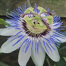The Passion Flower (Passifloraceae) ... by Corinne Pouzet