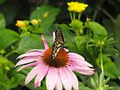 Monarch on pink flower by endomental Artistry