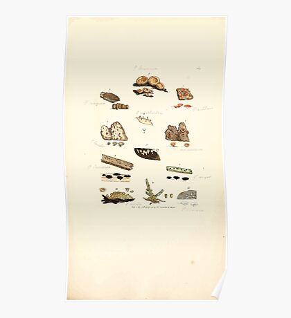 Coloured figures of English fungi or mushrooms James Sowerby 1809 0961 Poster