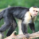 White-headed Capuchin by DutchLumix