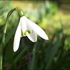 Snowdrop, Springtime In Cornwall. by Fuschia