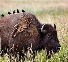 Bison and Blackbirds by Hugh Smith