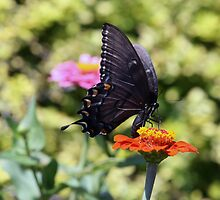 Black Swallowtail Butterfly by kkphoto1