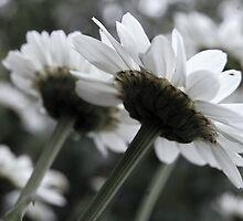 Flower- Woodstock, Illinois  by arberinger