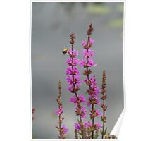Bee Landing On Wetland Flower Poster