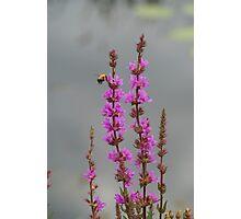 Bee Landing On Wetland Flower Photographic Print