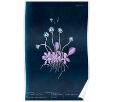 A curious herbal Elisabeth Blackwell John Norse Samuel Harding 1737 0510 The Small Wild Daisy Inverted Poster