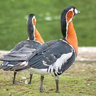 Red-breasted Geese by Jamie  Green