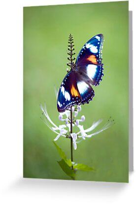 Wings - common eggfly butterfly by Jenny Dean