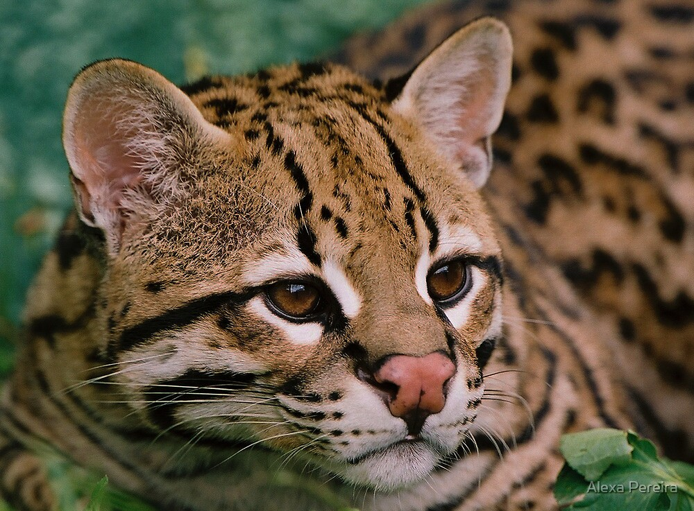 Endangered Species Ocolot by Alexa Pereira