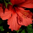 Hibiscus rojo by Blanchi-photos