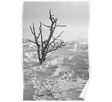 Gnarled tree at Canary Spring, Yellowstone National Park Poster