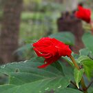 Sad Red Flower by AlGrover