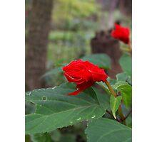 Sad Red Flower Photographic Print