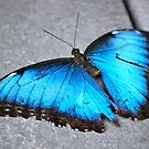 Butterfly Blue... by Carol Clifford