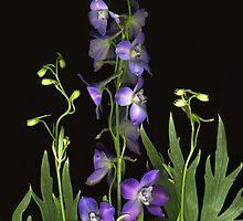 Lavender Bella Donna by Barbara Wyeth