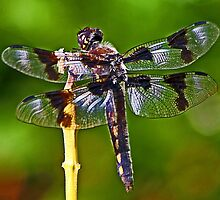 Eight-spotted Skimmer at Rest in the Park by Chuck Gardner