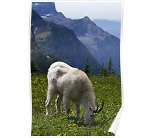 Mountain Goat - Glacier National Park Poster