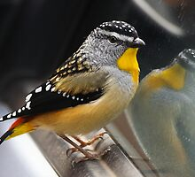 Spotted Pardalote by Tim Beasley