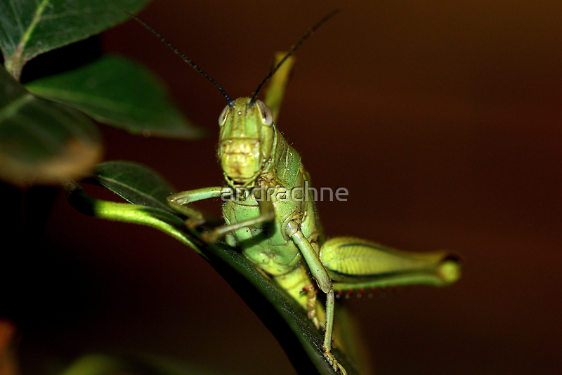 The orthopteron by andrachne