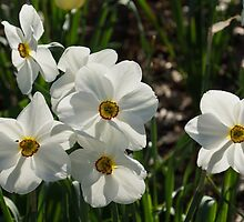 Sparkling, Fabulous White Narcissus with a Touch of Red by Georgia Mizuleva