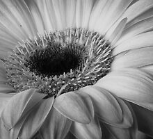 Gerber Daisy by David Kocherhans