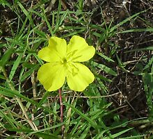 Yellow Primrose  by Navigator