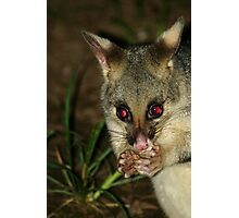 Brush Tail Possum Photographic Print