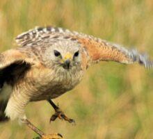 Red Shoulder Hawk Taking Flight Sticker