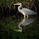 Grey Heron  by TheWalkerTouch