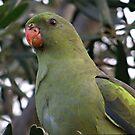 Regent Parrot Portrait by Rick Playle