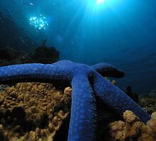 Blue starfish from the great barrier reef by Gerard Rotse