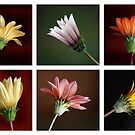 Gazania Collage by Magee