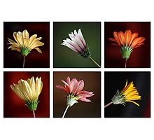 Gazania Collage Photographic Print