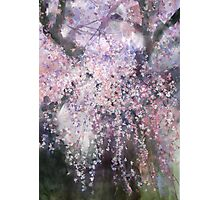 The droop cherry blossoms...「youen」 Photographic Print