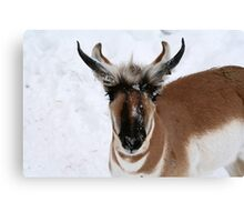 THE PRONGHORN Canvas Print