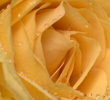 A yellow rose with dew drops on it by ktahaziz