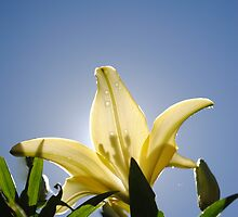 Yellow Lily by BeckyMP