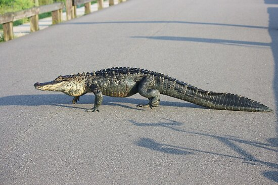 Alligator Crossing by Paulette1021