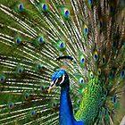 Peacock by geofflackner