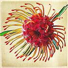 ~ Pin Cushion Protea ~ by Brenda Boisvert
