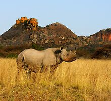 BLACK RHINO - SOUTH AFRICA by Michael Sheridan