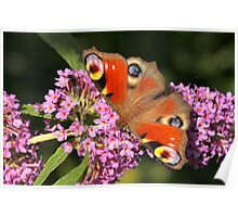 European Peacock Butterfly Poster
