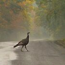 Scuse Me, Turkey Crossing by AlGrover