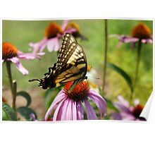 Date With An Eastern Tiger Swallowtail Poster