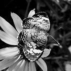 Black & White Pearl by shimschoot