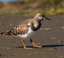 Another Ruddy Turnstone by Wayne Wood