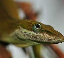 Another Anole Shot by Dennis Stewart