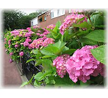 Vibrant Pink Hydrangeas - Vanishing Point Vignette Photographic Print