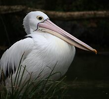 P...P....Pelican by Deb Gibbons